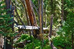 Dead Trees (JRR) Tags: deadtrees