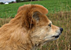 Rusty (patrick.verstappen) Tags: dog rusty portrait animal montenaken gingelom belgium nikon d7100 flickr facebook google grass photo picassa pinterest ipernity ipiccy image keegan sigma autumn october