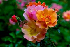 Summer Colours (Jack o' Lantern) Tags: rose roses summer davidgarretantoniovivaldisummer masterphotos ngc npc autoremovedfrom10to25faves