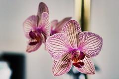 Homy orqudea (frank_madrigal) Tags: costarica flores flower orchids orqudea