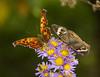 The Odd Couple (AllHarts) Tags: commaandbuckeyebutterflies commapolygoniacalbum buckeyejunoniacoenia bernheimforest bullittcounty shepherdsvilleky naturesspirit thesunshinegroup butterflygallery naturescarousel