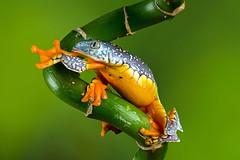 Fringe Tree Frog, CaptiveLight, Bournemouth, Dorset, UK (rmk2112rmk) Tags: fringetreefrog captivelight bournemouth dorset uk cruziohylacraspedopus frog treefrog amphibian herps macro