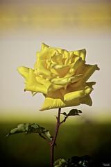 Yellow dew (Blas Torillo) Tags: puebla mxico mexico rosa rose amarillo yellow flor flower naturaleza nature belleza beauty roco dew amanecer daybreak fotografaprofesional professionalphotography fotgrafosmexicanos mexicanphotographers nikon d5200 nikond5200
