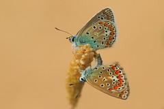 Polyommatus icarus mating (2) (JoseDelgar) Tags: insecto mariposa polyommatusicarus josedelgar coth contactgroups thegalaxy coth5 alittlebeauty fantasticnature ngc npc