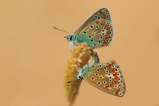 Polyommatus icarus mating (2)