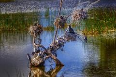 Cormorants Nesting (jatakaphoto) Tags: lake birds cormorants nests nesting