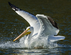 Touch Down (bassfisher365@att.net) Tags: splash pelican whitepelican migration migrate oklahoma landing lake white wings feathers nikon photography photo image