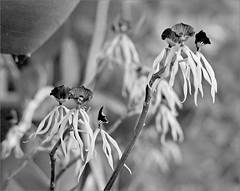 (frscspd) Tags: 75540005 20160705 pentax pentaxmx mx takumar takumar58mm 58mm ilford ilfordxp2 ilfordxp2400bw filmgrain film xp2 gloucestershire ashleworth orchid orchids bokeh zimbabwe