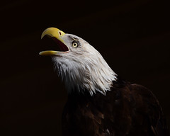 shout out... (all one thing (trying to catch up...)) Tags: baldeagle haliaeetusleucocephalus bird eagle shoutout nature mcgoughnaturepark thenarrows