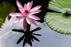 water lily (CloudRipR) Tags: flower waterlily bloom refelction purple nikon d300