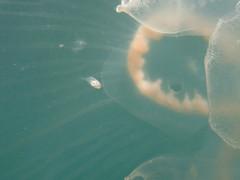 IMG_5619 (adrienweckel) Tags: adrienweckel aurélie aureliaaurita cnidaires poissons