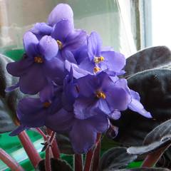 2-IMG_1529 (hemingwayfoto) Tags: balkon blhen blte blau blume floristik natur topfpflanze usambaraveilchen zierpflanze zuchtform