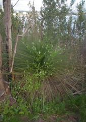 Fumaria capreolata on Xanthorrhoea preissii, Kings Park, Perth, WA, 02/09/16 (Russell Cumming) Tags: plant weed fumaria fumariacapreolata papaveraceae xanthorrhoea xanthorrhoeapreissii xanthorrhoeaceae kingspark perth westernaustralia