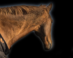 The Stud (Jay-Aitch) Tags: stud horse stallion bay equine portrait lumix g vario 14140f3556 panasonic gx8