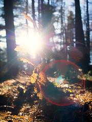 Herbstlicht (Silaris Inc.) Tags: sonnenstrahlen baum herbst sonne sonnenlicht wald bltter pentaxm28mmf28 natur gegenlicht oererkenschwick nordrheinwestfalen deutschland de