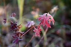 Hrmas (Jaan Keinaste) Tags: pentax k3 pentaxk3 eesti estonia loodus nature sgis autumn punane red