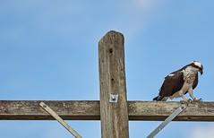 Dec 05 201628317 (Lake Worth) Tags: animal animals bird birds birdwatcher everglades southflorida feathers florida nature outdoor outdoors waterbirds wetlands wildlife wings canoneos1dxmarkii canonef500mmf4lisiiusm