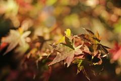 _MG_3982 - John's golden garden (Daniel Mesquita) Tags: outono autumn golden leaves folhas beyondbokeh