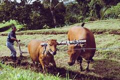 _DSF8122 (davidrose18) Tags: fuji bali indonesia travel fujifilm xt1 travellers jatiluwih cows working field
