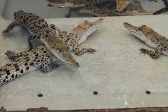 Palawan Crocodile Farm (sheiladeeisme) Tags: crocodile crocodilefarm travel tourist tourism palawan island philippines reptiles