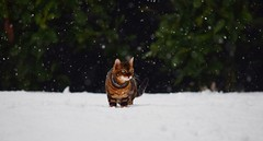 Snow cat (lisheeny) Tags: bengal cat pet animal feline snow