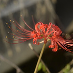 Spider Lily Only thumbnail