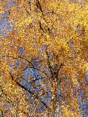 Birch, Callander Crags (Niall Corbet) Tags: scotland perthshire callandercrags callander autumn woodland forest birch betula