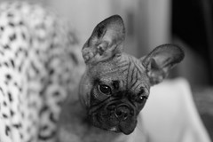 ma petite gargouille / my little gargoyle (Guillaume DELEBARRE (Guigui-Lille)) Tags: frenchbulldog dog bulldog bouledogue canon noiretblanc nb blackandwhite bw puppy chiot highkey 135f2 6d iso6400