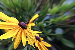 Black Eyed Susan (Johnnie Shene Photography(Thanks, 2Million+ Views)) Tags: blackeyedsusan rudbeckia chrysanthemum flora floral flower flowering plant yellow depthoffield korea summer day lighteffect highangle photography horizontal outdoor colourimage fragility freshness nopeople foregroundfocus adjustment interesting awe wonder beautiful petals corolla nature natural wild wildlife livingorganism tranquility stamen fulllength backgroundblurry famous canon eos600d rebelt3i kissx5 sigma 1770mm f284 dc macro lens 루드베키아 꽃 국화 여름 낮