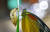 New born (bug eye :) Thailand) Tags: macro closeup insect bugeye butterfly born newborn thailand chiangmai