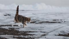 20160311091747 (koppomcolors) Tags: koppomcolors winter vinter snow snö katt cat