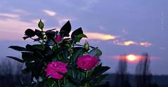 Happy Evening Everyone !! ... :-) (ljucsu) Tags: outdoor sunset roses plant autumn autumnsunset november novembersunset sunsetwithroses ngc npc
