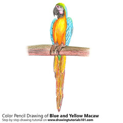Blue and Yellow Macaw with Color Pencils (drawingtutorials101.com) Tags: blue yellow macaw blueandgold macaws parrots birds animals sketching pencil sketch sketches drawing draw speeddrawing timelapse timelapsevideo coloring color how