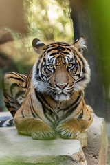 Joanne (ToddLahman) Tags: joanne sandiegozoosafaripark safaripark sumatrantiger tigers tiger tigertrail closeup eyelock escondido canon7dmkii canon canon100400
