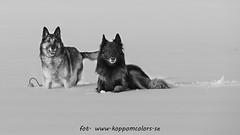20160310091383 (koppomcolors) Tags: koppomcolors dog dogs hund hundar