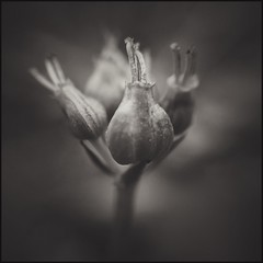Cluster - BW (Firery Broome) Tags: flower buds blooms cluster spring wildflowers nature naturelovers artofnature earthnature cellphone phonephoto iphone iphone5s externallens olloclip macro closeup dof bokeh ipad iphoneography apps snapseed vsco vscox4 blackandwhite blackwhite bw monochrome monochromemonday square blackandwhitenature squarenature iphonenature fairhill cecilcounty maryland marylandnature blackandwhiteflowers blackandwhitemaryland 365