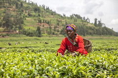 Tea SACCO 8 (Kristina Just) Tags: africa rwanda teapicker tea woman