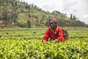 Tea SACCO 8 (Kristina Just) Tags: africa rwanda teapicker tea woman