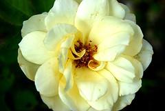 Sei hochgelobt, du Herr der Zeit (amras_de) Tags: rose rosen rua rosa rue rozo roos arrosa ruusut rs rzsa roe rozes rozen roser rza trandafir vrtnica rosslktet gl blte blume flor cvijet kvet blomst flower floro is lore kukka fleur blth virg blm fiore flos iedas zieds bloem blome kwiat floare ciuri flouer cvet blomma iek