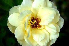 Sei hochgelobt, du Herr der Zeit (amras_de) Tags: rose rosen ruža rosa ruže rozo roos arrosa ruusut rós rózsa rože rozes rozen roser róza trandafir vrtnica rossläktet gül blüte blume flor cvijet kvet blomst flower floro õis lore kukka fleur bláth virág blóm fiore flos žiedas zieds bloem blome kwiat floare ciuri flouer cvet blomma çiçek
