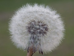 Puff ball (heather's higher purpose) Tags: inspire dream wish nature plant flower outdoor furry