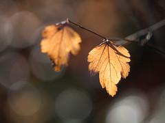 Helios bubbles (A_Peach) Tags: gx8 helios park autumn leaves plant bubbles fall autumncolours herbst herbstfarben panasoniclumixgx8 helios442 bltter blatt leaf bokeh vintagelens dof