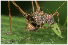 Katydid / Grillo de monte (Panama Birds & Wildlife Photos) Tags: macro macrophotography katydid grillo grillos insect insects insecto ins