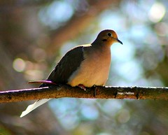 Peace (tpaddison1) Tags: dove tranquility bird serenity nature