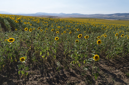 Sunflowers, 23.07.2015.