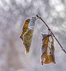 Goccia (pauldunn52) Tags: hazel leaves frost autumn colour river alun wales
