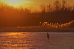 Sunset Stroll (maryanne.pfitz) Tags: landscape sunset frozenlake sandhillcrane wildlife grasses bird walking latewinter earlyspring nature seasons map9684 maryannepfitzinger