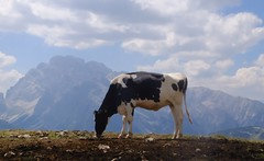 the cow who wanted to fly (Cujolina) Tags: animals freecow montain nature vegan green park summer