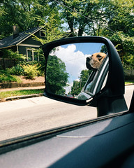 234/365 (moke076) Tags: dog pet broken window oneaday car animal mobile out mirror driving view ride head side great cellphone cell down moose neighborhood riding fawn photoaday grantpark dane 365 iphone 2015 project365 365project vsco vscocam