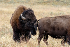 She's all mine, keep away (Alan Vernon.) Tags: male female fur mammal cow buffalo bullock coat grand bull ox american valley wyoming plains tetons bison bovine reproduction grasslands rut smelling